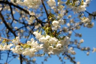 Kirschblüten an unserem alten Apfelbaum